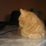 mała Afi koty brytyjskie niebieskie misie*pl