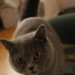 koty brytyjskie Tosia