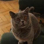 koty brytjskie