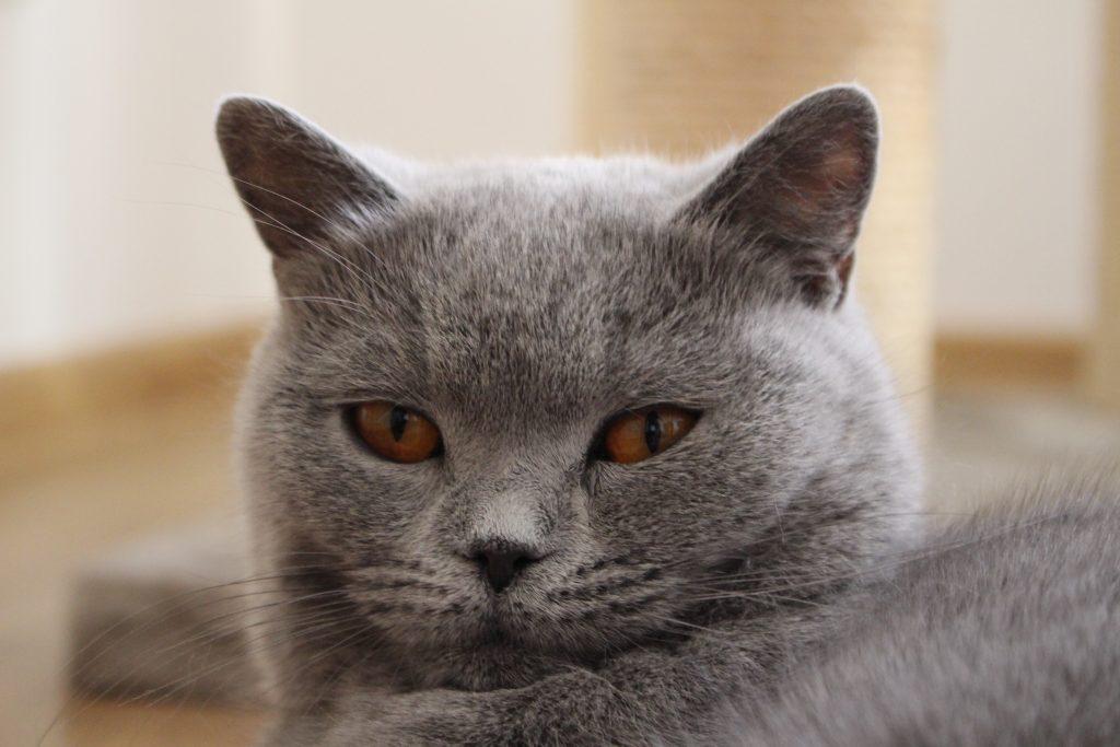 koty brytyjskie charakter-Kizy Mizy