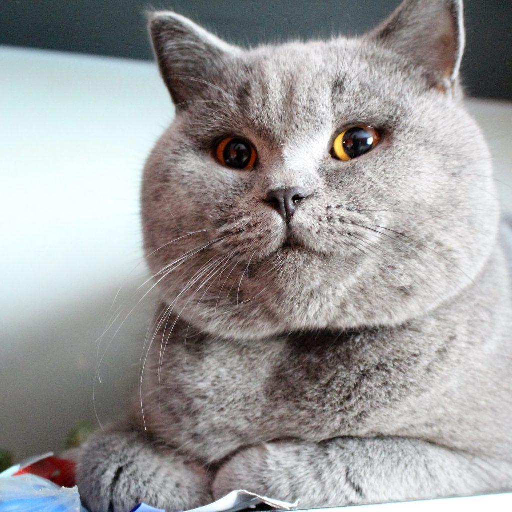 koty brytyjskie niebieskie charakter-wujek cosmo