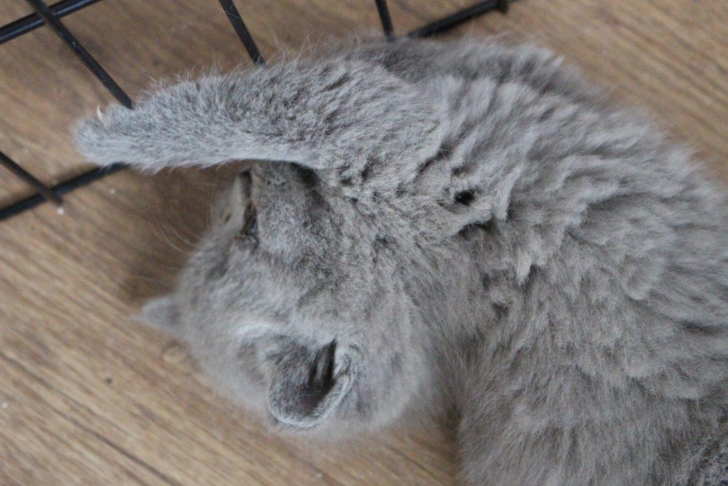 koty brytyjskie niebieskie miot D