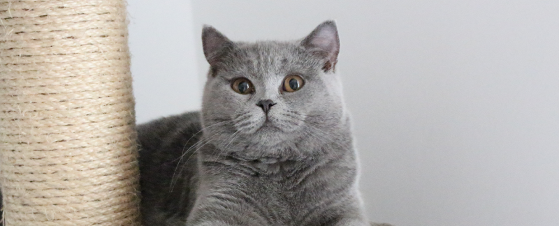 koty brytyjskie niebieskie beth