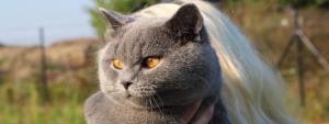 felinoterapia-koty brytyjskie
