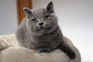 koty brytyjskie niebieskie miot g