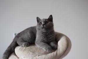 koty brytyjski niebieskie miot g