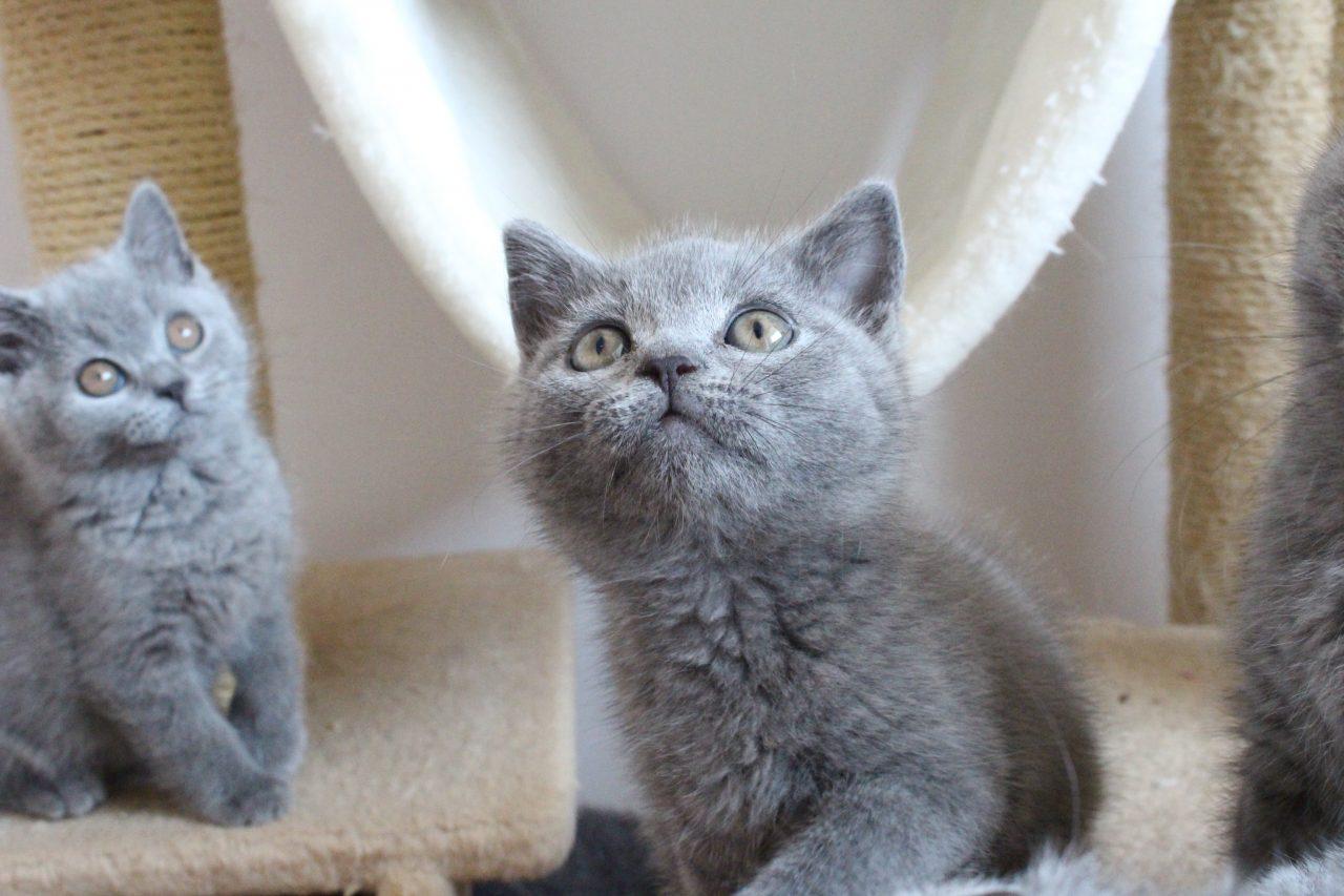 Koty Brytyjskie Niebieskie Miot E