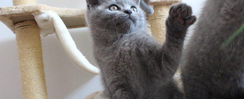 koty brytyjskie miot e
