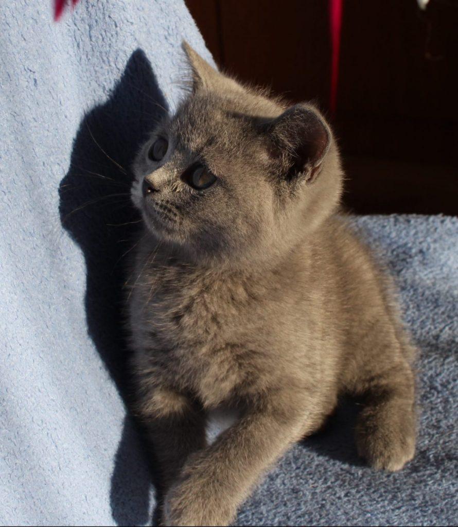 Koty Brytyjskie Niebieskie miot F