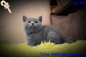 koty brytyjskie niebieskie miot j