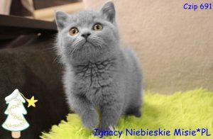 koty brytyjskie niebieskie-mioy i