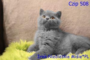 koty brytyjskie niebieskie-miot I