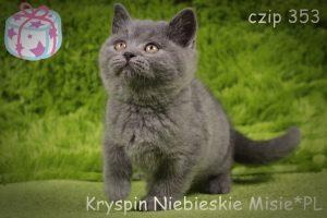 koty brytyjskie niebieskie-miot k Kryspin