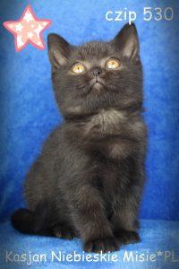kot brytyjski czarny-miot k