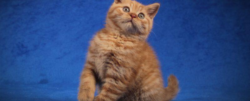 rude koty brytyjskie