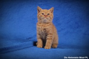 rude koty brytyjskie miot o