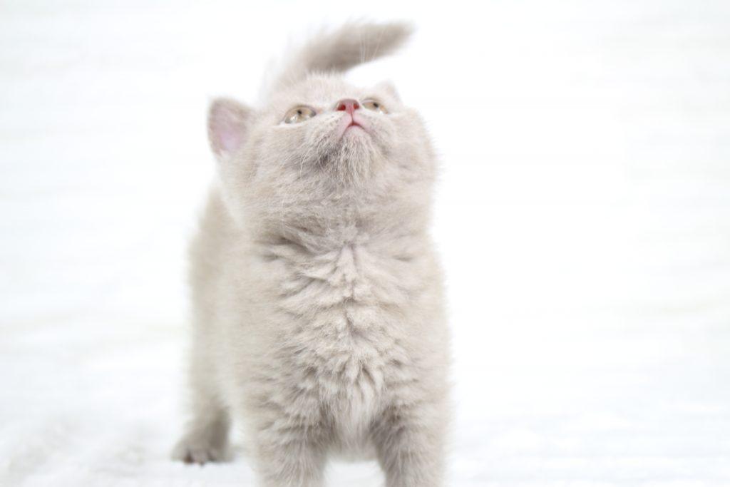 koty brytyjskie liliowe
