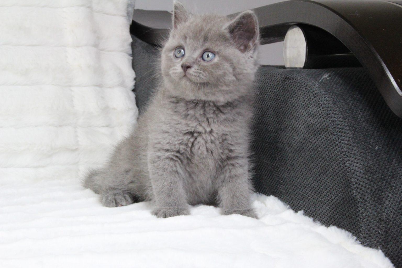 Hodowla Kotów Brytyjskich Niebieskie Misiepl Felis Polonia