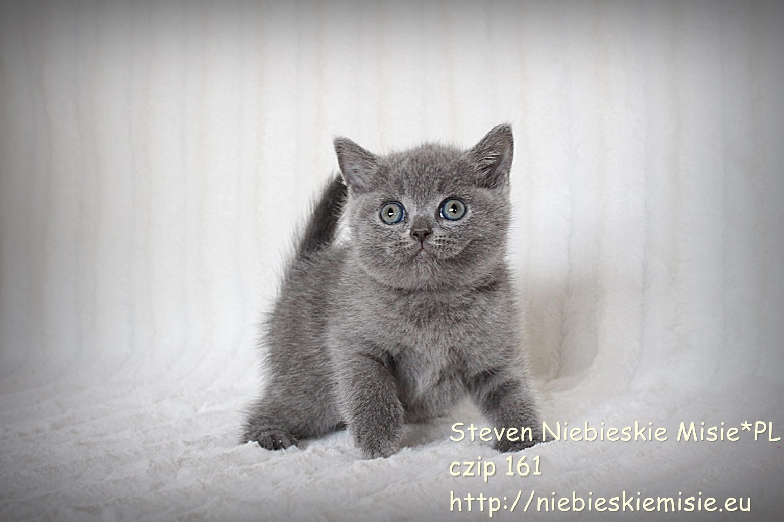 Koty brytyjskie niebieskie krótkowłose-miot S