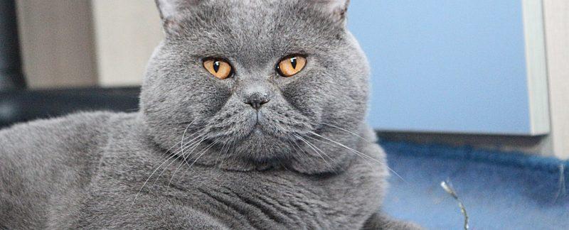 Hodowla kotów brytyjskich-kocury