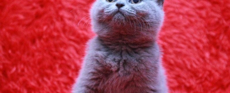 Koty brytyjskie niebieskie krótkowłose-miot W