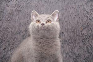 koty brytyjskie niebieskie miot A II- Anto