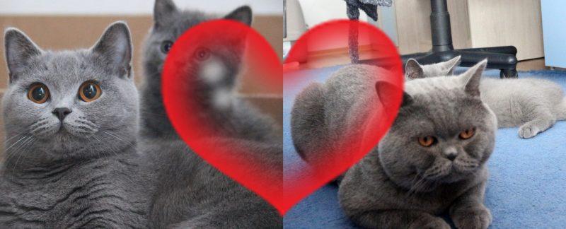 Hodowla Kotów Brytyjskich Lenka i Elmo