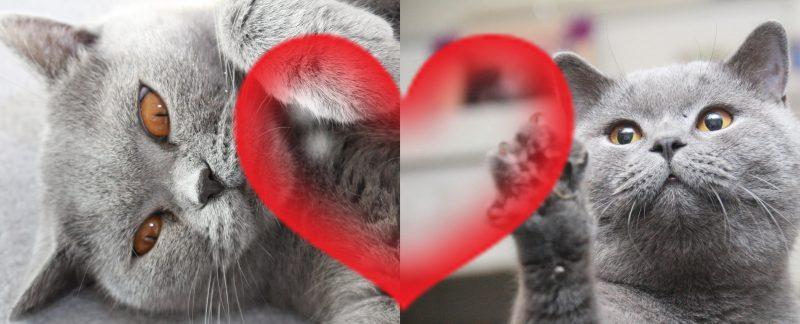 Koty Brytyjskie Niebieskie Krótkowłose miot B 2