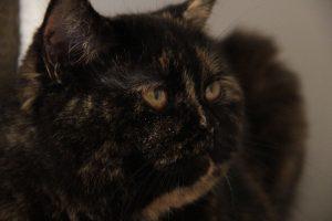 koty brytyjskie czarny szylkret Zala Niebieskie Misie*PL