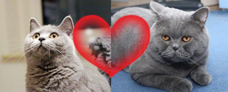 Koty brytyjskie Nela i Elmo