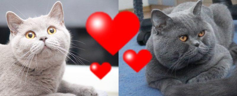 Hodowla Kotów Brytyjskich Kitka i Elmo