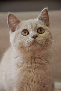 Liliowe Koty Brytyjskie
