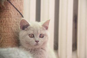 Liliowe koty brytyjskie Daniela