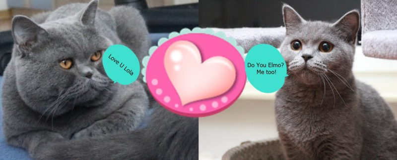 Elmo i Lola koty brytyjskie