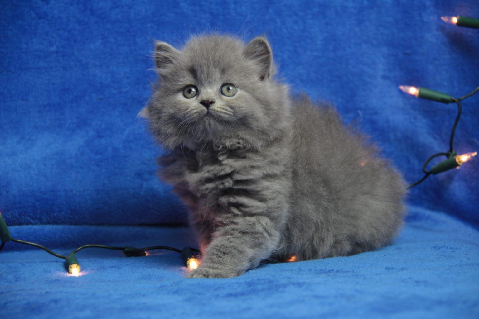 Długowłose koty brytyjskie
