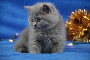 koty brytyjskie niebieskie Magoo