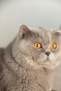 Bonifacy Hodowla Kotów Brytyjskich Niebieskie Misie*PL
