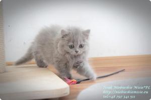 Isssak Niebieskie Misie kot brytyjski długowłosy (1)