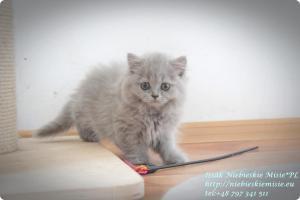 Isssak Niebieskie Misie kot brytyjski długowłosy (2)