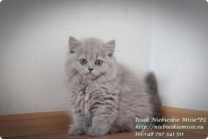 Isssak Niebieskie Misie kot brytyjski długowłosy (3)