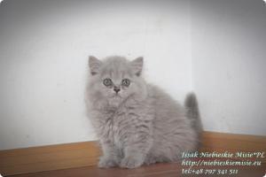 Isssak Niebieskie Misie kot brytyjski długowłosy (4)