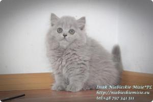 Isssak Niebieskie Misie kot brytyjski długowłosy (6)