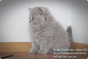 Isssak Niebieskie Misie kot brytyjski długowłosy (7)