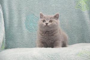 Koty Brytytskie Niebieskie Beatrice Niebieskie Misie (1)