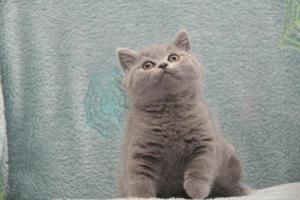 Koty Brytytskie Niebieskie Beatrice Niebieskie Misie (11)