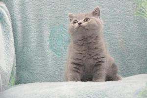Koty Brytytskie Niebieskie Beatrice Niebieskie Misie (12)