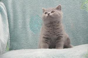 Koty Brytytskie Niebieskie Beatrice Niebieskie Misie (13)