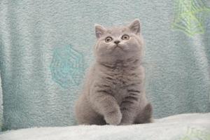 Koty Brytytskie Niebieskie Beatrice Niebieskie Misie (14)