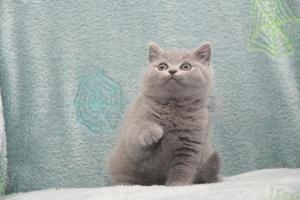 Koty Brytytskie Niebieskie Beatrice Niebieskie Misie (15)