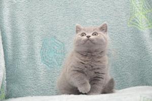 Koty Brytytskie Niebieskie Beatrice Niebieskie Misie (17)